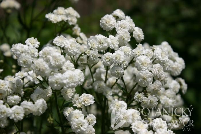 Achillea ptarmica 'Flore Pleno' - řebříček bertrám