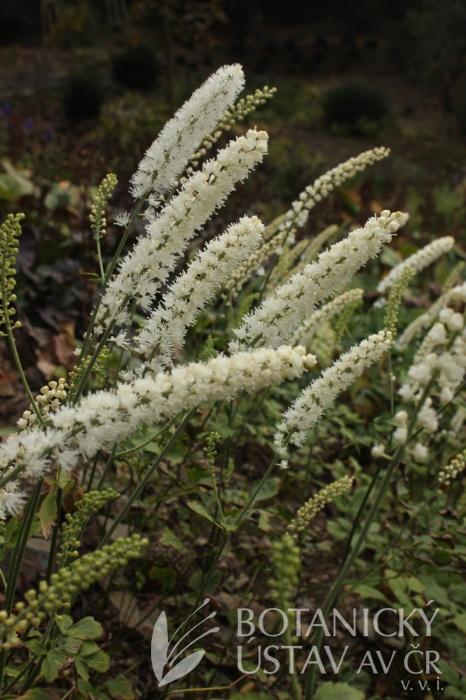 Actaea simplex 'White Pearl' - samorostlík větvený