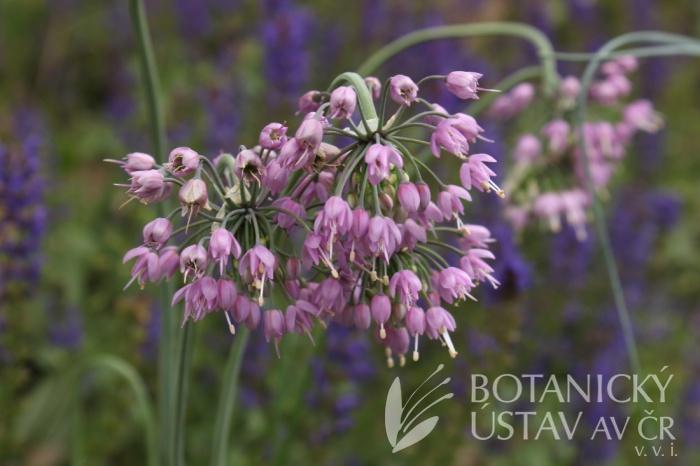 Allium cernuum 'Hidcote' - česnek nící