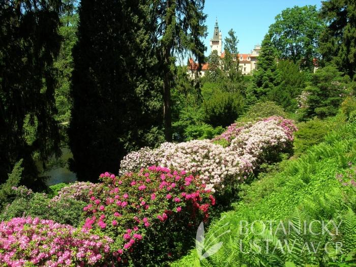 Průhonický park - rododendrony v alpinu