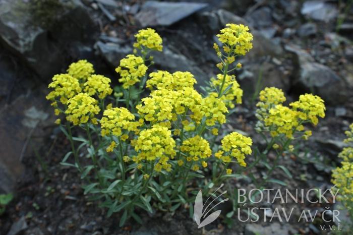 Alyssum montanum 'Berggold' - tařice horská