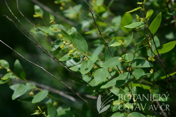 Andrachne colchica - homulinec kolchický