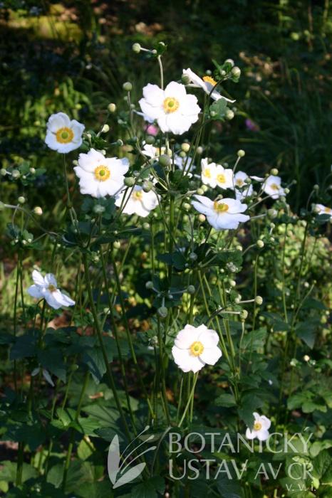 Anemone x hybrida 'Honorine Jobert' - sasanka zahradní