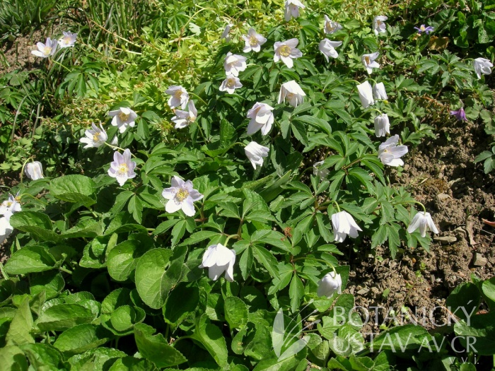 Anemone nemorosa 'Robinsoniana' - sasanka hajní