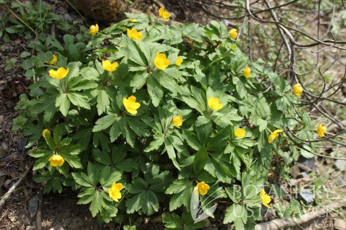 Anemone ranunculoides - sasanka pryskyřníkovitá
