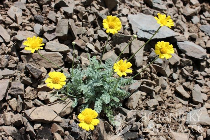 Anthemis marschalliana - rmen Marschallův