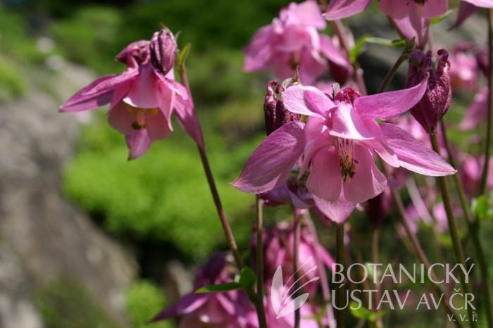 Aquilegia vulgaris - orlíček obecný