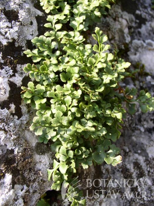 Asplenium ruta-muraria - sleziník routička