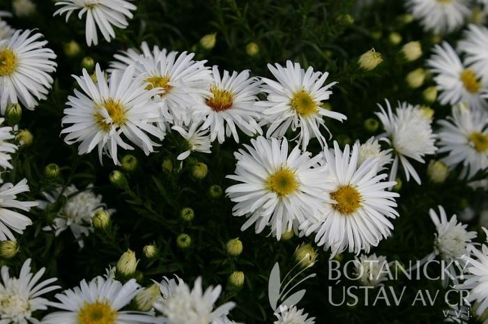 Aster dumosus 'Kristina' - hvězdnice nízká