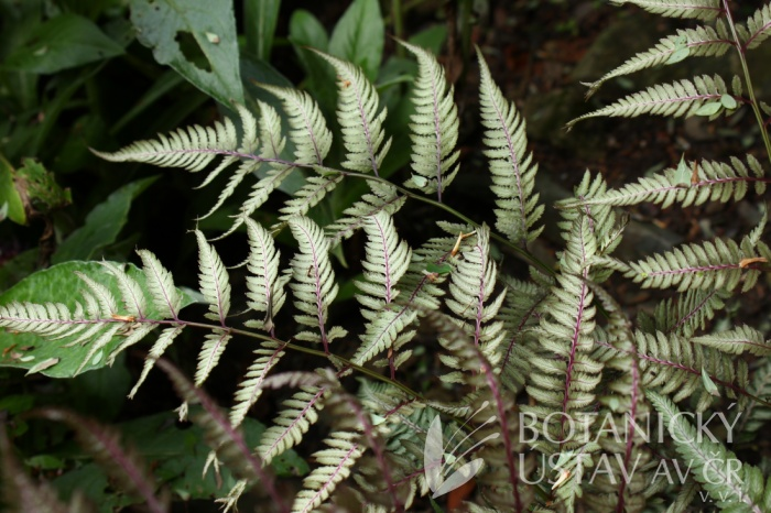 Athyrium nipponicum 'Metalicum' - papratka japonská