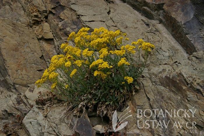 Aurinia saxatilis - tařice skalní