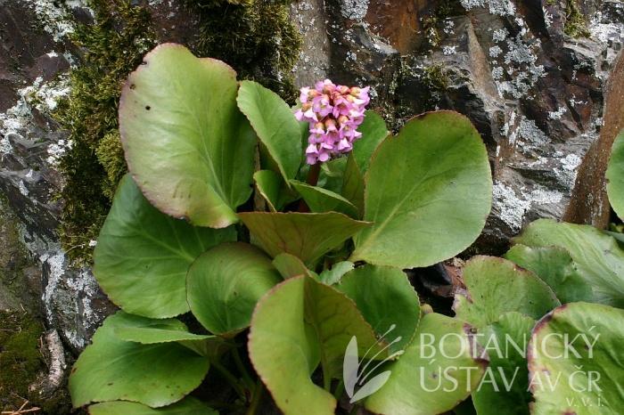 Bergenia crassifolia - bergenie tučnolistá