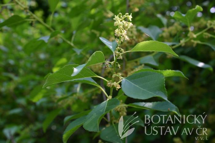 Celastrus orbiculatus - jesenec okrouhlolistý