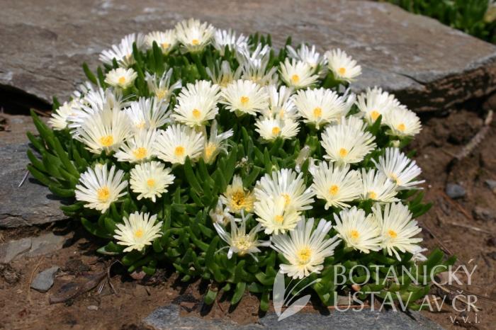 Delosperma basuticum 'White form' - polednovka basutská