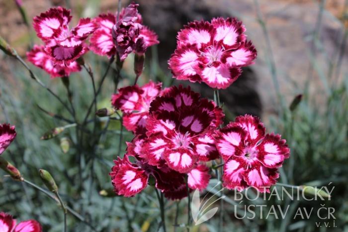 Dianthus 'Alena' - hvozdík