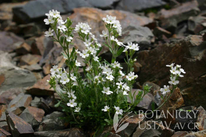 Erinus alpinus 'Albus' -nemléč alpský