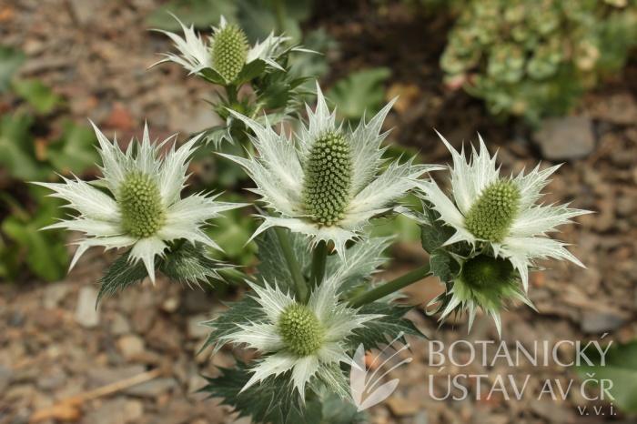 Eryngium giganteum 'Silver Ghost' - máčka obrovská