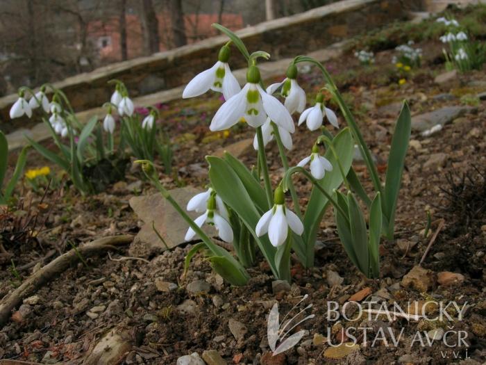 Galanthus elwesii - sněženka Elwesova