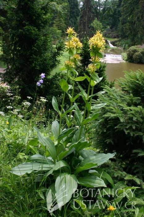 Gentiana lutea - hořec žlutý