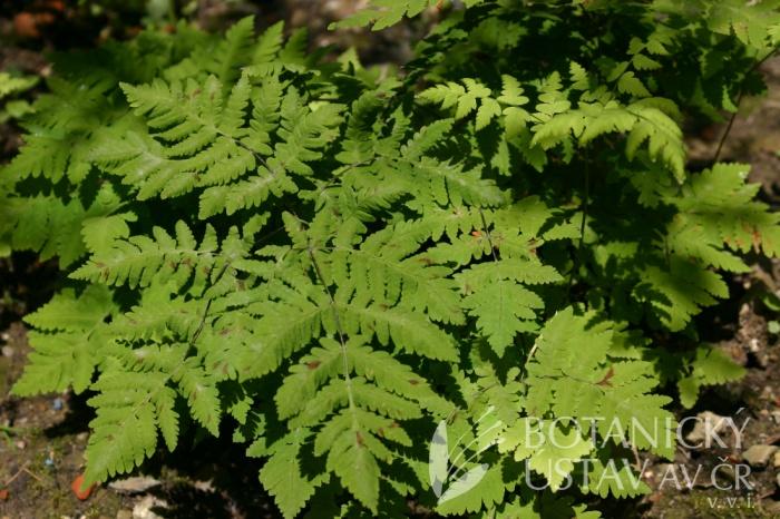 Gymnocarpium dryopteris - bukovník kaproďovitý