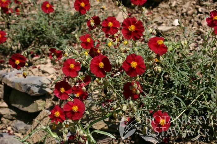 Helianthemum hybridum 'Ben Hope' - devaterník zahradní