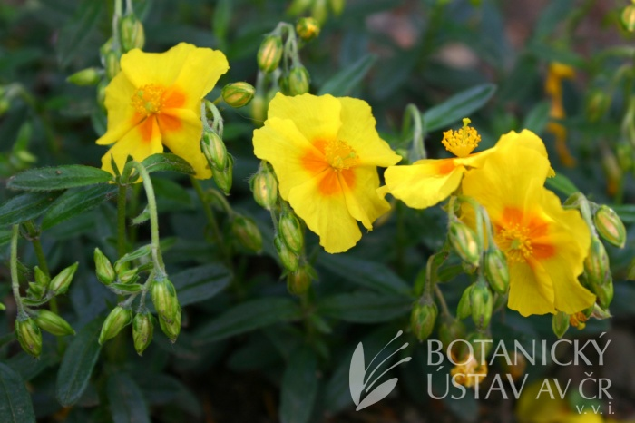 Helianthemum hybridum 'Sterntaler' - devaterník zahradní