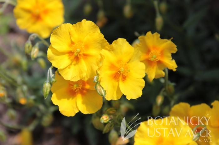 Helianthemum hybridum 'Sterntaler' - devaterník