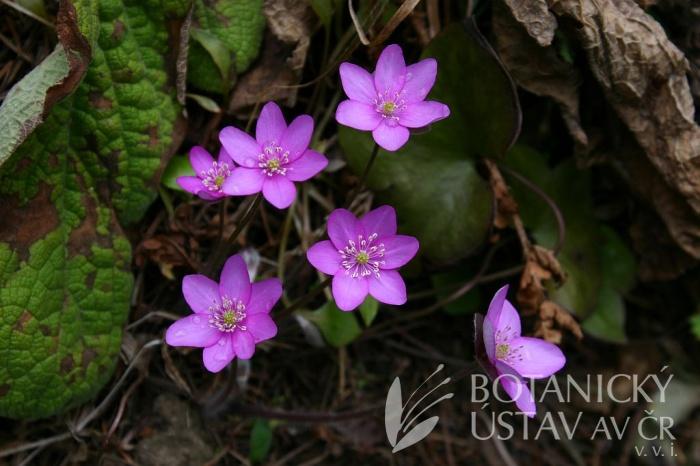 Hepatica nobilis 'Rosea' - jaterník podléška