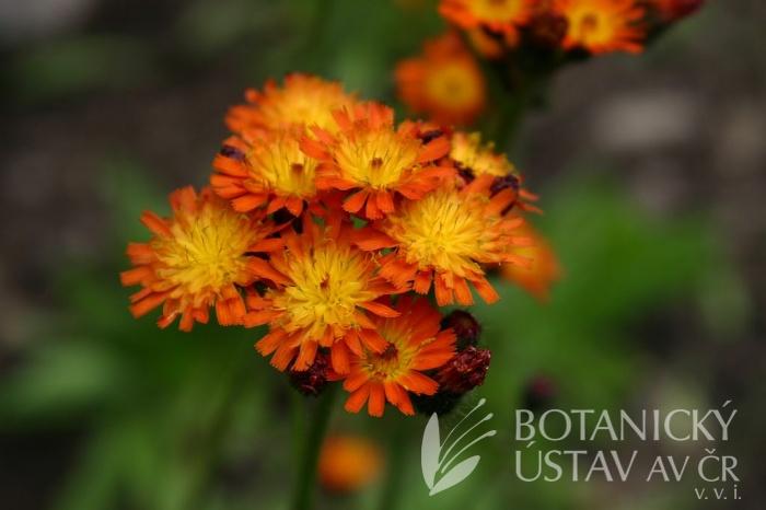 Hieracium aurantiacum - jestřábník oranžový