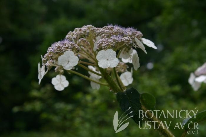 Hydrangea sargentiana - hortenzie Sargentova