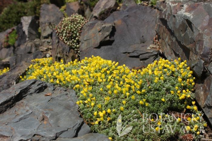 Vitaliana primuliflora - douglasie prvosenkokvětá
