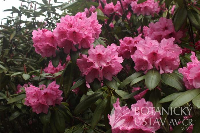 Rhododendron calophytum x Rhododendron 'Silva Tarouca' - pěnišník