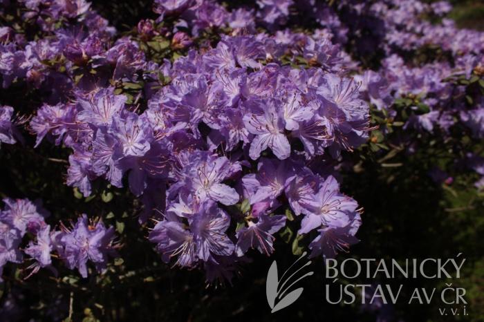 Rhododendron impeditum - pěnišník obtížený