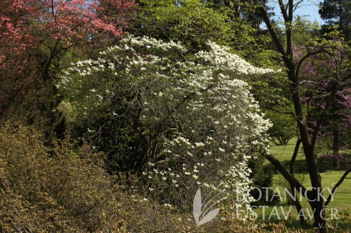 Cornus florida 'Pendula' - dřín květnatý