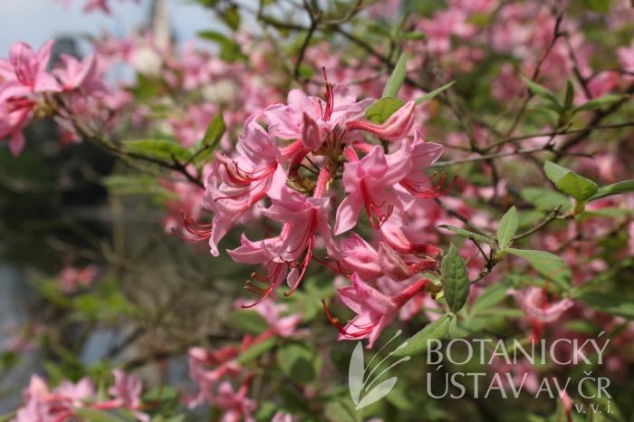 Rhododendron roseum - pěnišník růžový