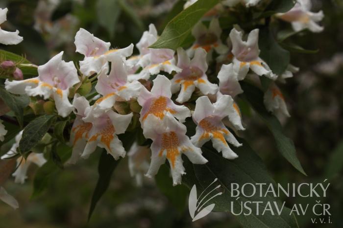 Dipelta floribunda - dvojštítník květnatý