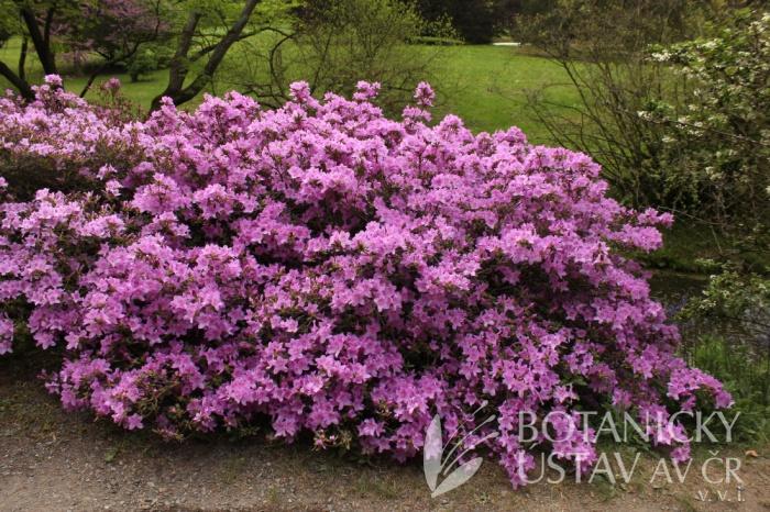Rhododendron 'Ledicanense' - pěnišník