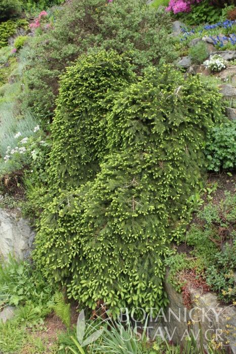 Picea abies 'Formánek' - smrk Formánek