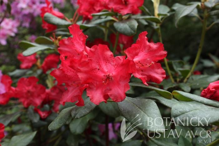 Rhododendron 'Baden-Baden' - pěnišník