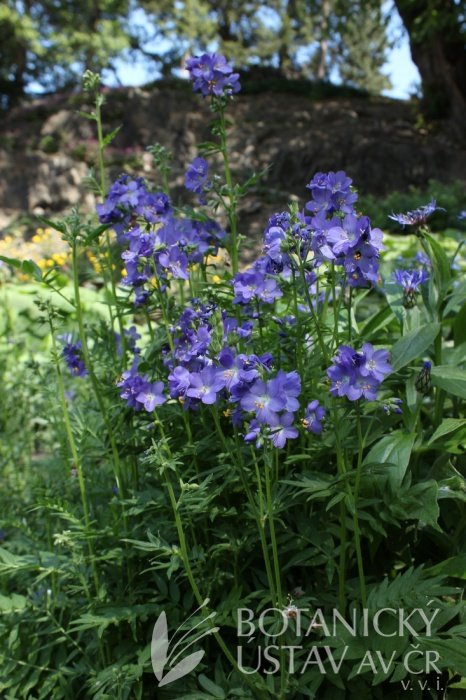 Polemonium caeruleum - jirnice modrá