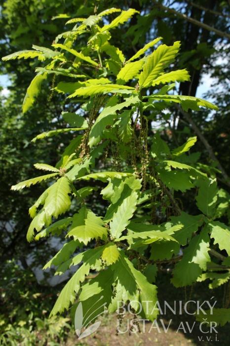 Quercus pontica - dub černomořský