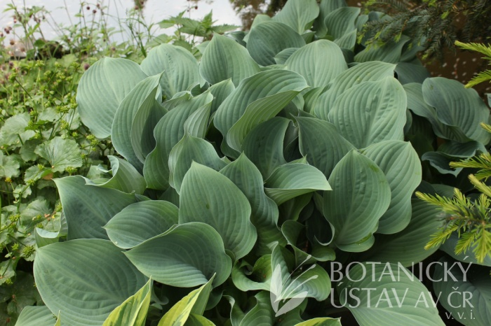Hosta fortunei 'Krossa Regal' - Bohyška Fortuneova