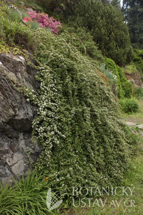 Cotoneaster dammeri 'Skogholm' - skalník Dammerův