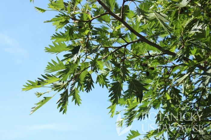 Alnus glutinosa 'Laciniata' - olše lepkavá