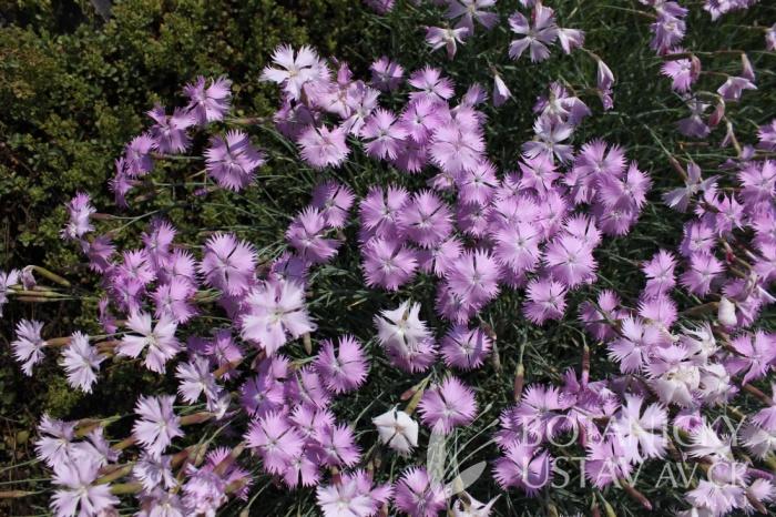 Dianthus moravicus - hvozdík moravský