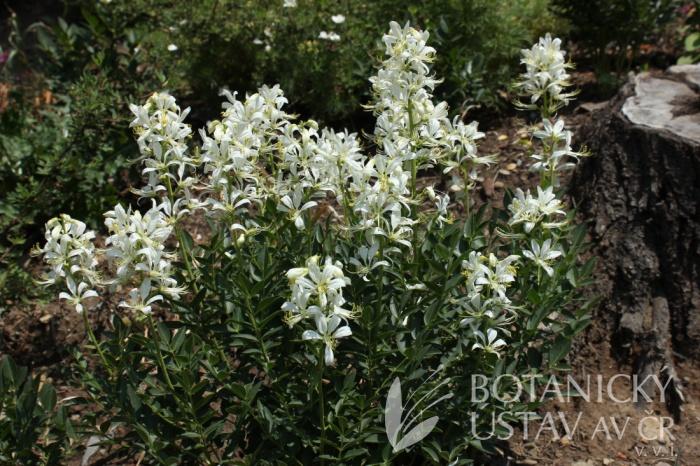 Dictamnus albus 'Albiflorus' - třemdava bílá