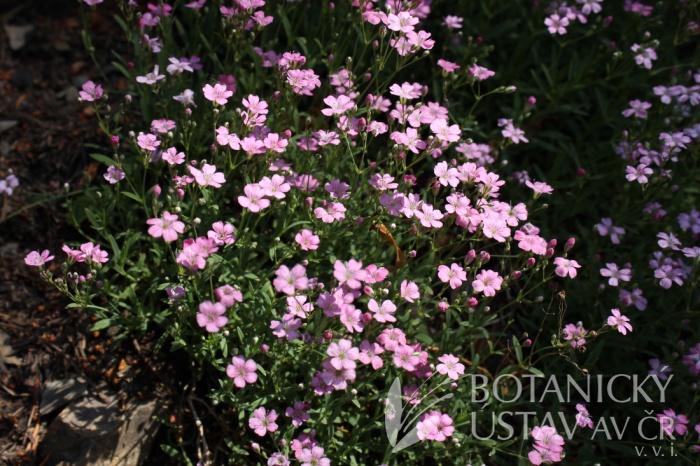 Gypsophila repens 'Rosea' - šater plazivý