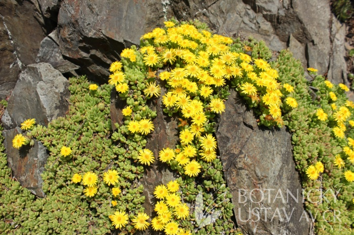 Delosperma nubigenum - polednovka zlatožlutá
