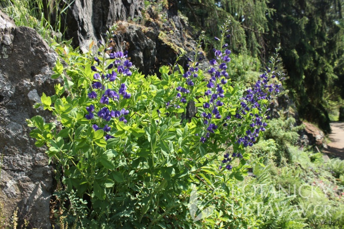 Baptisia australis - baptisie jižní