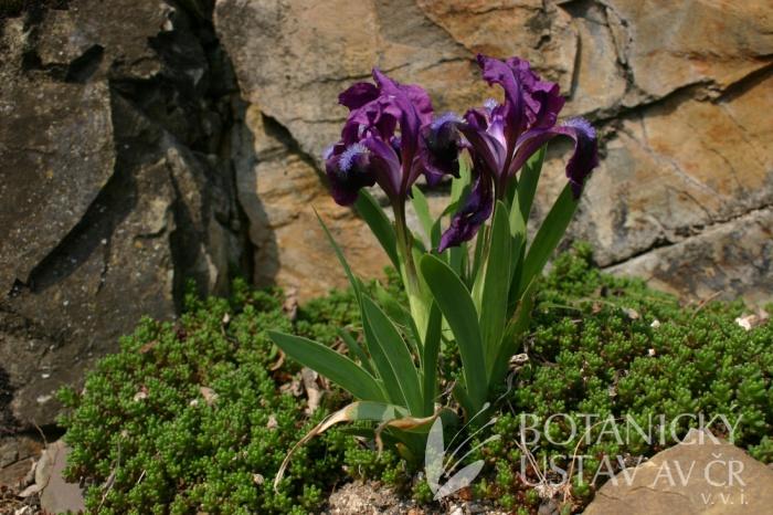 Iris pumila - kosatec nízký
